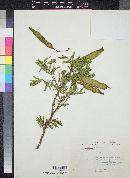 Image of Acacia sericea