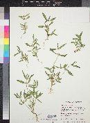 Mitracarpus breviflorus image