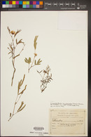 Calliandra humilis var. reticulata image