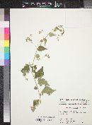 Abutilon trisulcatum image