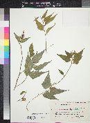 Image of Hibiscus kochii