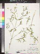 Melampodium cupulatum image