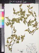 Acalypha papillosa image