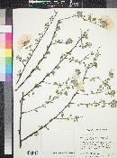 Cordia parvifolia image