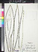 Euphorbia antisyphilitica image