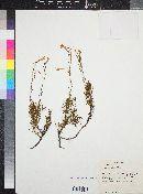 Penstemon pinifolius image