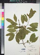 Rhamnus betulifolia image