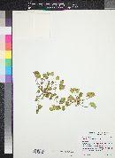 Malva parviflora image