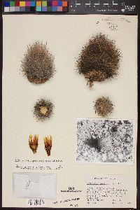 Image of Sclerocactus unguispinus