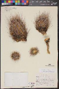 Image of Sclerocactus scheeri