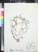 Ipomoea plummerae image