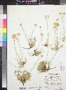 Eremogone eastwoodiae image