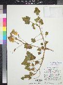 Image of Proboscidea altheifolia