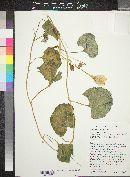 Apodanthera undulata image