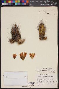 Image of Thelocactus leucacanthus