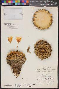 Image of Thelocactus rinconensis