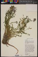 Image of Astragalus callichrous