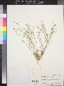 Gilia mexicana image