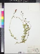 Penstemon baccharifolius image