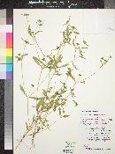 Melampodium strigosum image