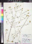 Heliomeris longifolia image