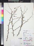 Image of Grabowskia boerhaaviifolia