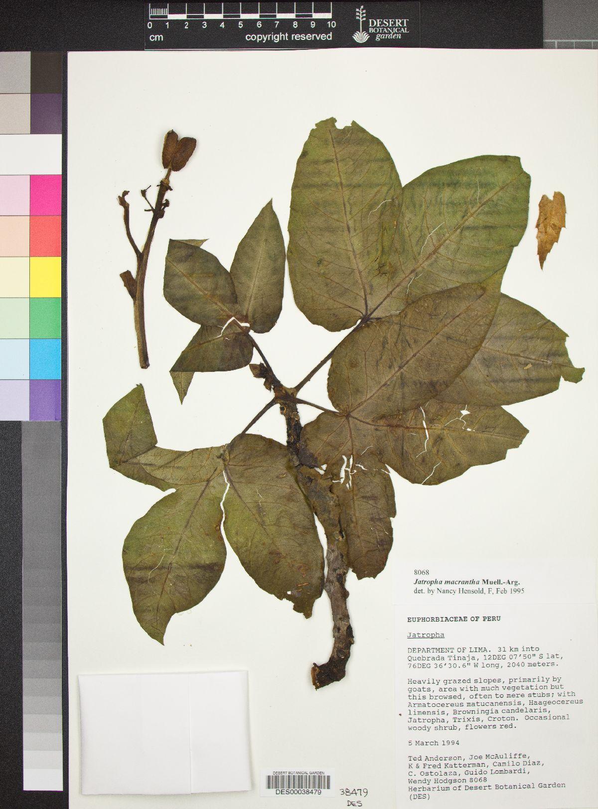 Jatropha macrantha image