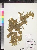 Image of Tarasa thyrsoidea