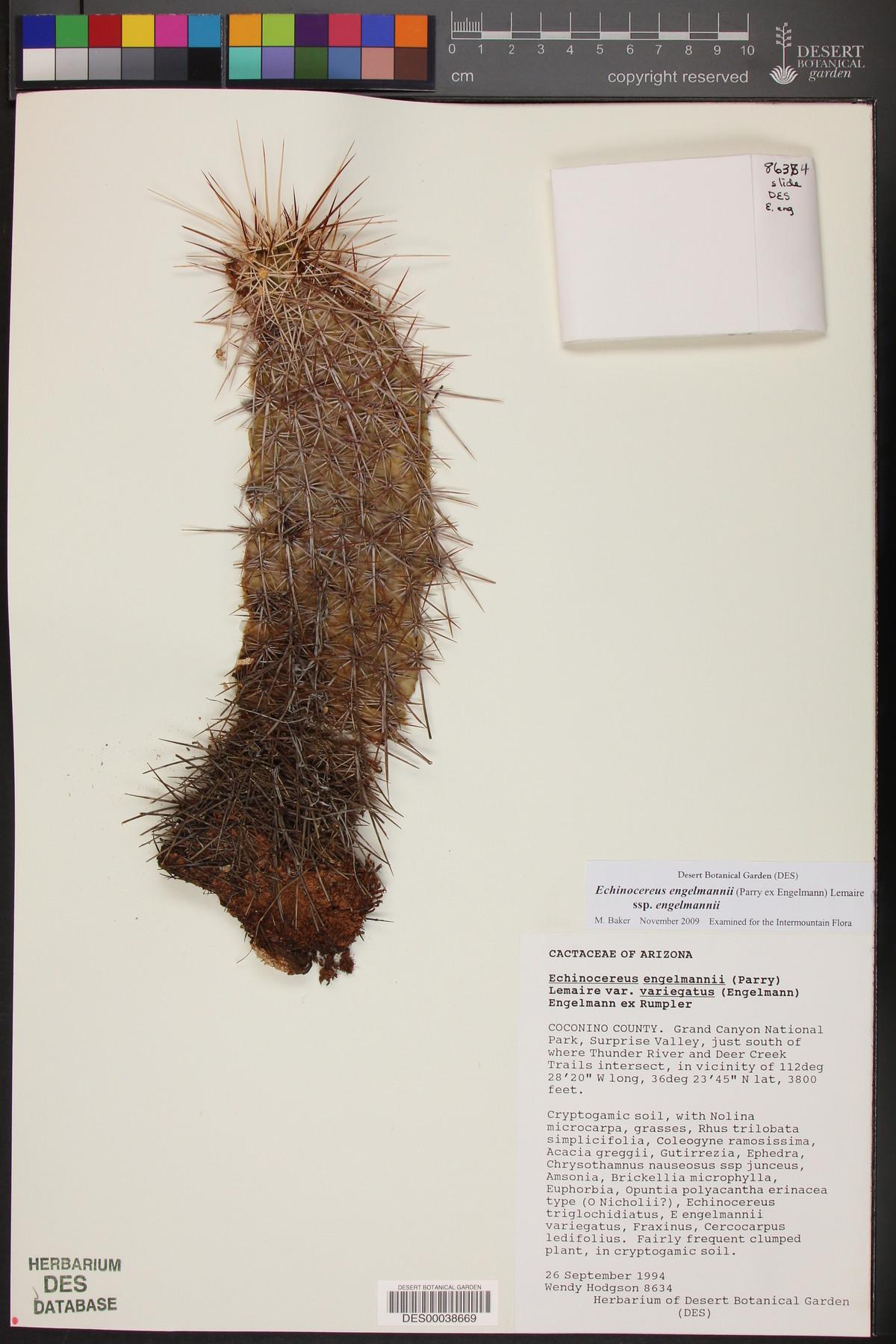 Echinocereus engelmannii var. variegatus image