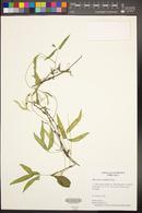 Phaseolus acutifolius image