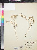 Cryptantha maritima var. pilosa image