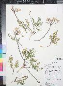 Cymopterus purpureus var. purpureus image
