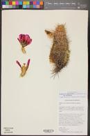 Echinocereus engelmannii image