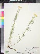 Hymenoxys richardsonii image