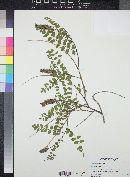 Amorpha californica image