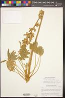 Lupinus excubitus image