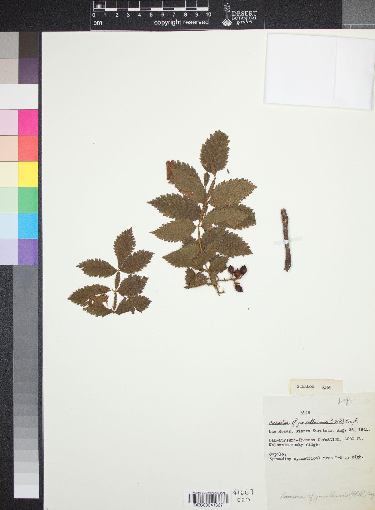 Bursera jorullensis image