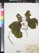 Heliocarpus palmeri image