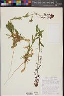 Thelypodiopsis ambigua image