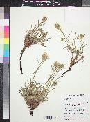 Cryptantha capitata image