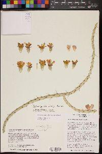Image of Cylindropuntia lindsayi