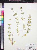 Glandularia gooddingii image