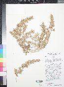 Alternanthera pungens image