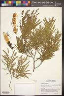Lysiloma watsonii image