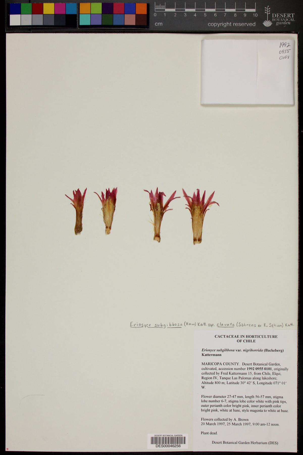 Eriosyce subgibbosa var. nigrihorrida image