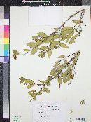 Simmondsia chinensis image