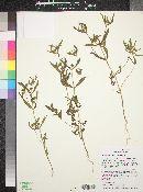 Melampodium longicorne image