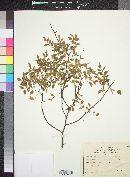 Bursera laxiflora image