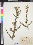 Image of Grewia robusta