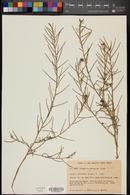 Image of Sisymbrium gariepinum